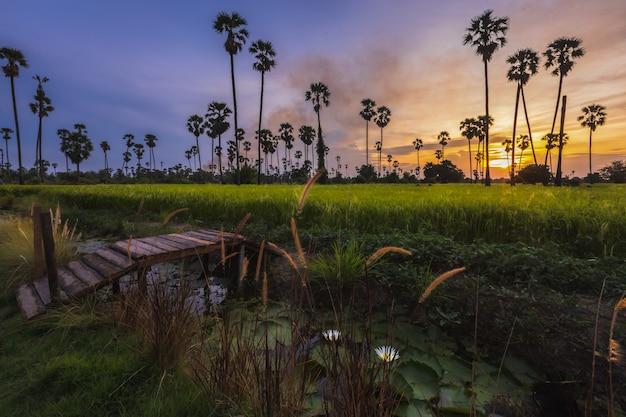 Landschaftssonnenuntergang in den reisfeldern mit vielen zuckerpalmen, sehr bunt und schön.