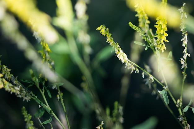Landschaftswiese mit den gelben und grünen wiesenpflanzen.