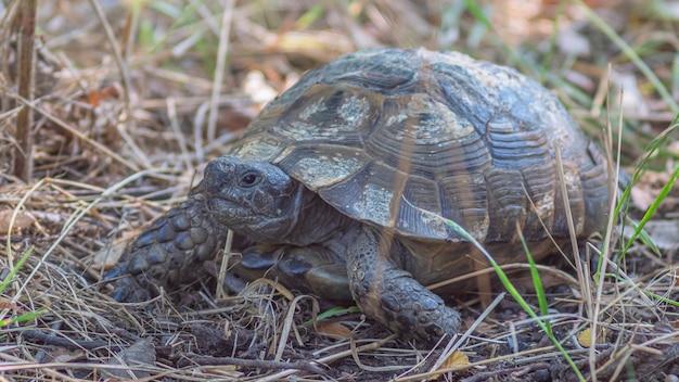 Landschildkröte im wald spazieren gehen