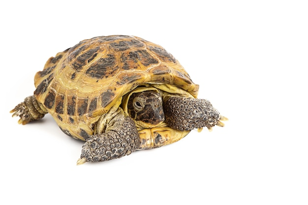 Landschildkröte lokalisiert auf einer weißen oberfläche
