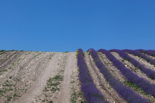 Landstraße am rande des lavendelfeldes. perspektive, selektiver fokus, blauer himmel.