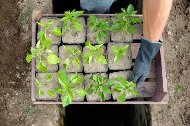 Landwirt bereiten sich für das pflanzen von pfeffersämlingen vor