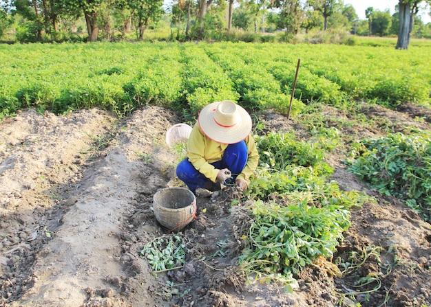 Landwirt, der auf dem erdnussgebiet arbeitet.