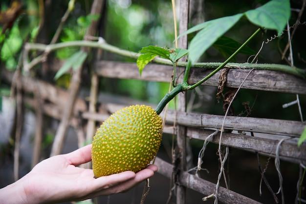Landwirt, der babyjackfruit in seinem biohof - leute mit grünem lokalem landwirtschaftlichem hauptkonzept hält