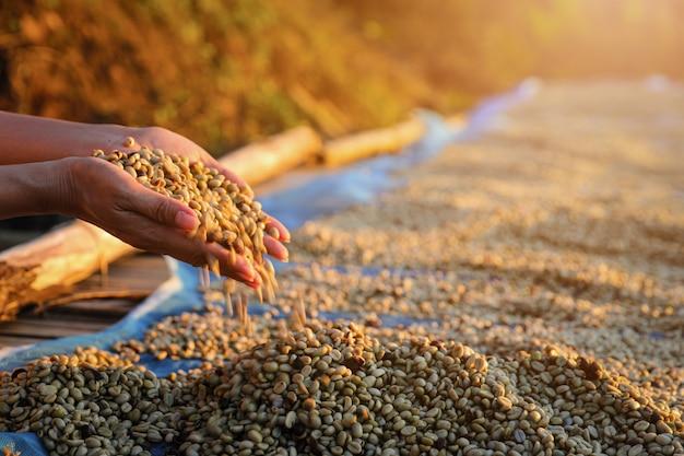 Landwirt, der die hand überprüft die trockenheit der kaffeebohnen hält, die auf dem boden herausgestellt wurden