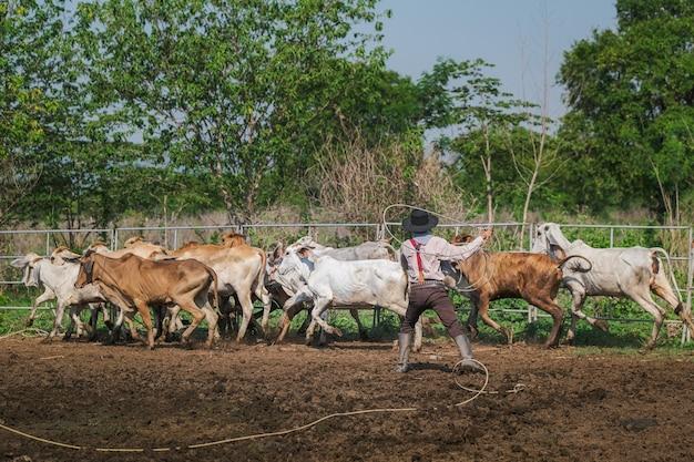Landwirt, der ein kalb fängt, um in einer ranch gebrandmarkt zu werden