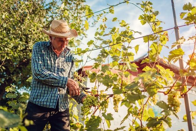 Landwirt, der ernte von trauben auf ökologischem bauernhof erfasst. ausschnitttrauben des älteren mannes mit gartenschere