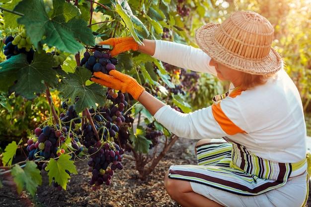 Landwirt, der ernte von trauben auf ökologischem bauernhof erfasst. frau, die blaue tafeltrauben mit gartenschere schneidet