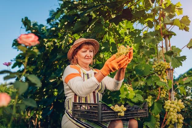 Landwirt, der ernte von trauben auf ökologischem bauernhof erfasst