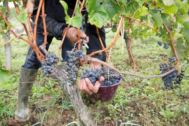Landwirt, der ernteweintrauben schneidet