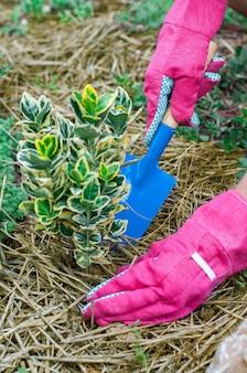 Landwirt, der euonymuspflanze in mit mulch bedecktem boden umtopft