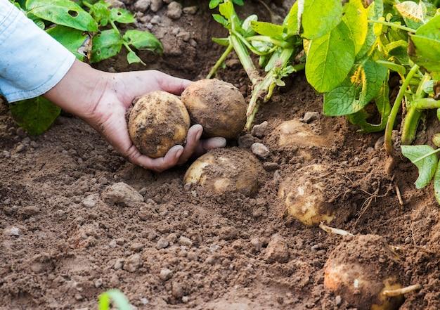 Landwirt, der frische kartoffeln erntet.