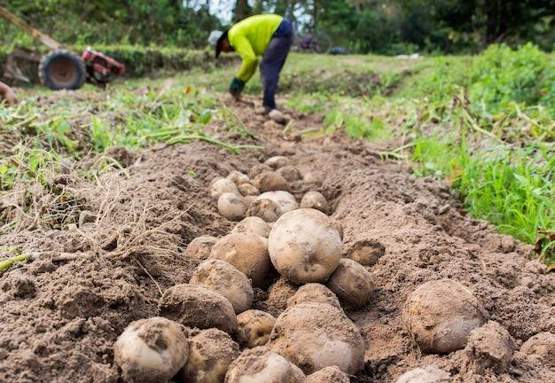 Landwirt, der frische kartoffeln erntet