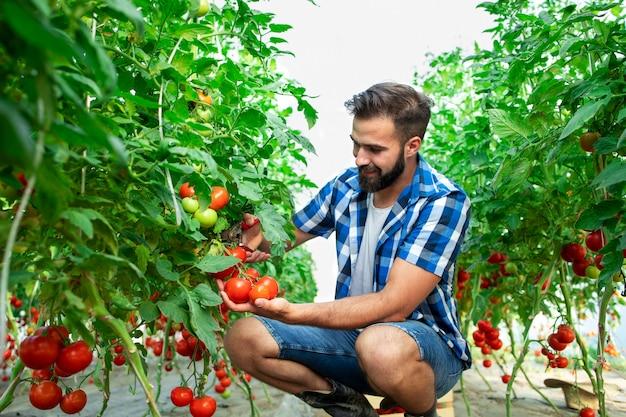 Landwirt, der frisches reifes tomatengemüse für den marktverkauf pflückt