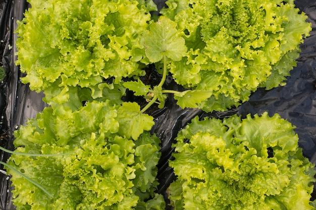 Landwirt, der gemüse erntet - garten, grüne salate,