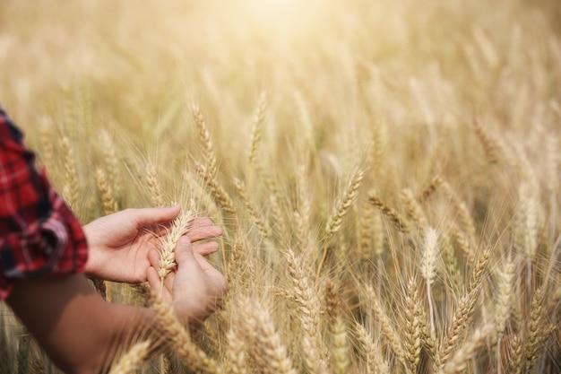 Landwirt, der goldene gerste in den händen mit ackerland hält.