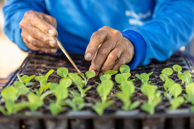 Landwirt, der grüne tabakpflanzen pflanzt