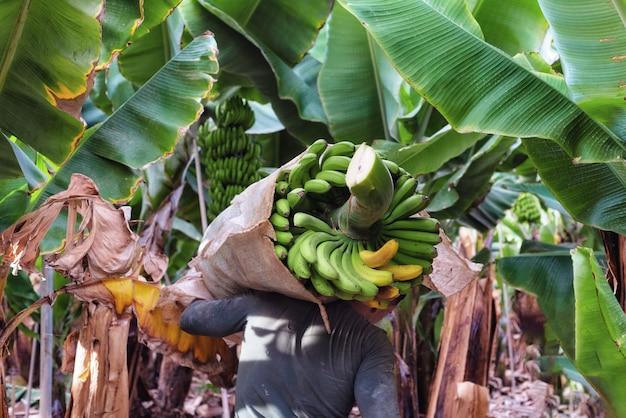 Landwirt, der grünes bananenbündel auf bauernhof trägt