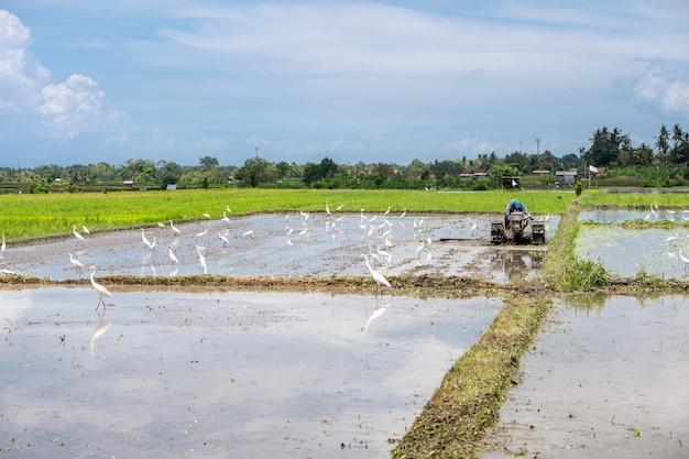 Landwirt, der in einem reisfeld mit störchen im wasser arbeitet