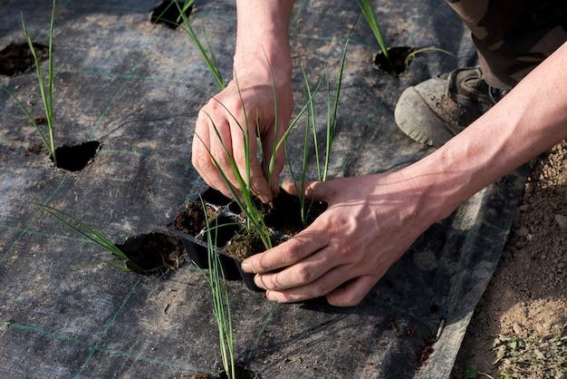 Landwirt, der junge lauchsämlinge umpflanzt