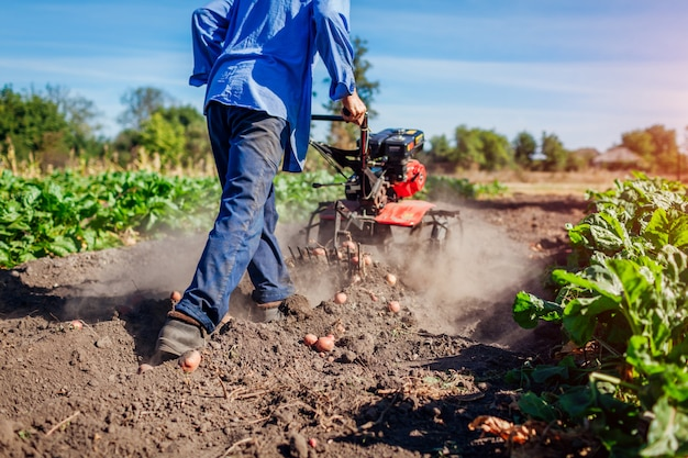 Landwirt, der kleinen traktor für bodenbearbeitung und kartoffelgraben fährt. herbsternte kartoffelsammeln