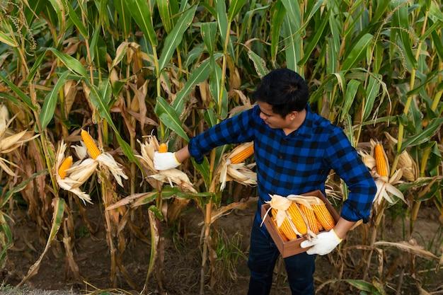 Landwirt, der maiskolben an seinem feld, mais auf tierfutter kontrolliert.
