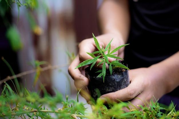 Landwirt, der marihuana hält, das zur plantage im feld vorbereitet.