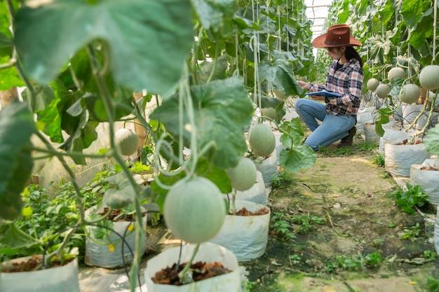 Landwirt, der melone auf dem baum steuert. konzepte für nachhaltiges wohnen, arbeiten im freien, kontakt mit der natur, gesunde ernährung.