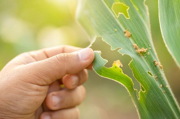 Landwirt, der problem über den wurm isst maisblätter überprüfend arbeitet