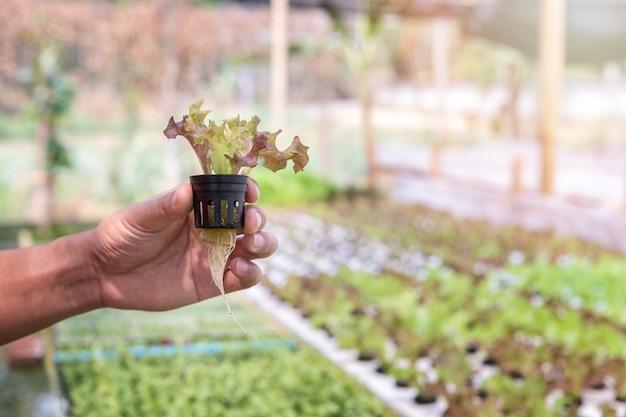 Landwirt, der rote wasserkultureiche im betriebskindertagesstättenbauernhof aufhebt. bio-salat gemüse.