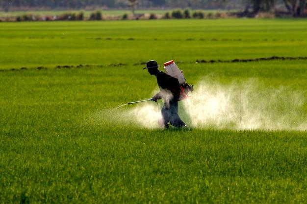 Landwirt, der schädlingsbekämpfungsmittel im reisfeld sprüht