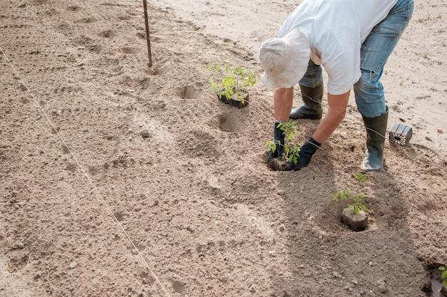Landwirt, der tomatensämlinge auf dem feld pflanzt