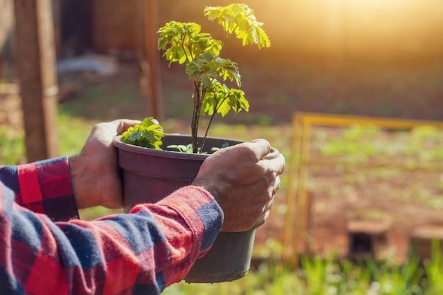 Landwirt, der topf mit polyscias fruticosa-pflanze auf sonnenuntergangbauernhof hält
