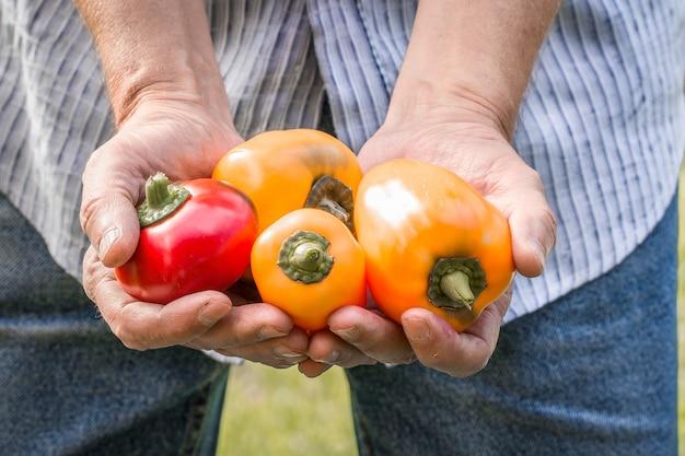 Landwirt hält frische paprika. lebensmittel, gemüse, landwirtschaft