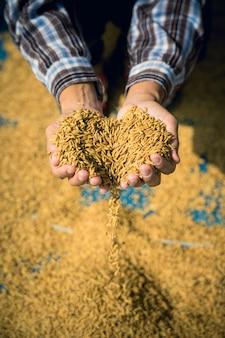 Landwirt halten paddy in händen nach der ernte.