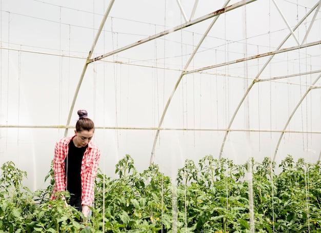 Landwirt im gewächshaus, der gemüse erntet