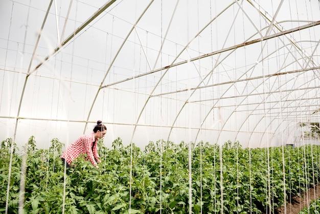 Landwirt im gewächshaus, der gemüse lange schuss erntet