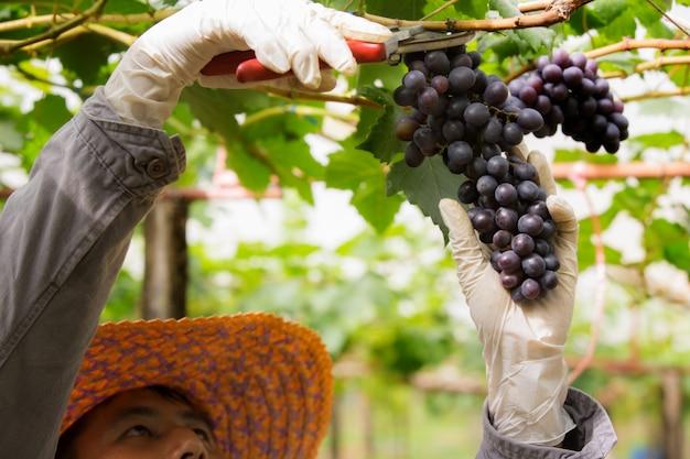 Landwirt in seinem weinberg, der seine produkte überprüft und schützt