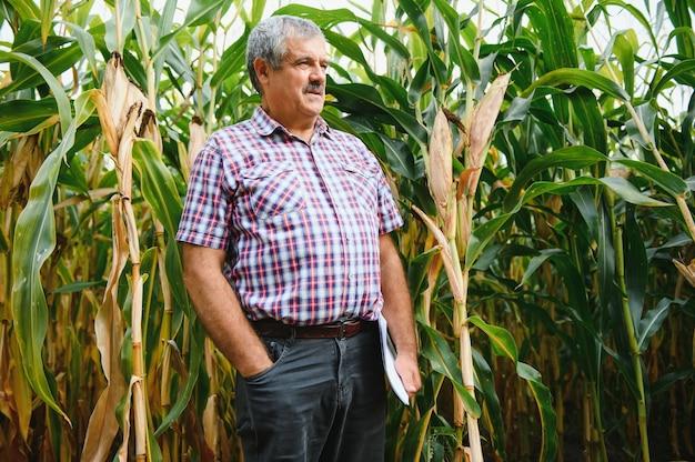 Landwirt inspiziert maiskolben auf seinem feld