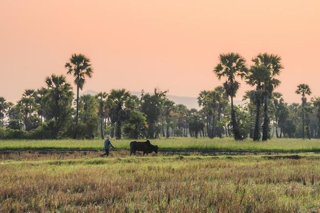 Landwirt mit der kuh, die auf reisfeldnut in der arengapalmenplantage pflügt