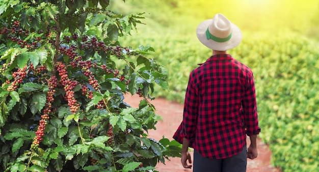 Landwirt mit hut als nächstes auf kaffeepflanze mit reifen roten früchten, bereit zur ernte, feld bei sonnenuntergang. platz für text.