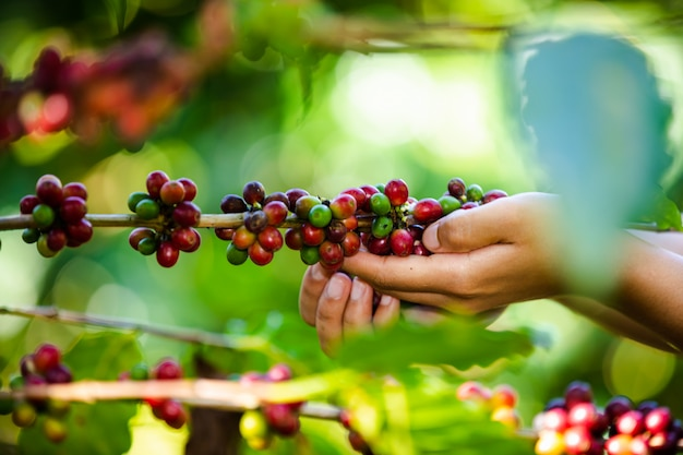 Landwirt sammelt rohkaffeebohnen im landwirtschaftlichen ackerland