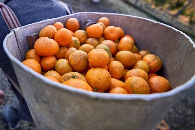 Landwirt während der ernte von frischen bio-orangen-zitrus-mandarinen in georgia land