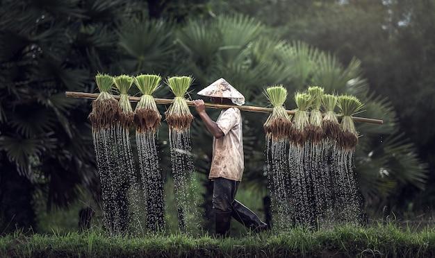 Landwirte bauen in der regenzeit reis an.