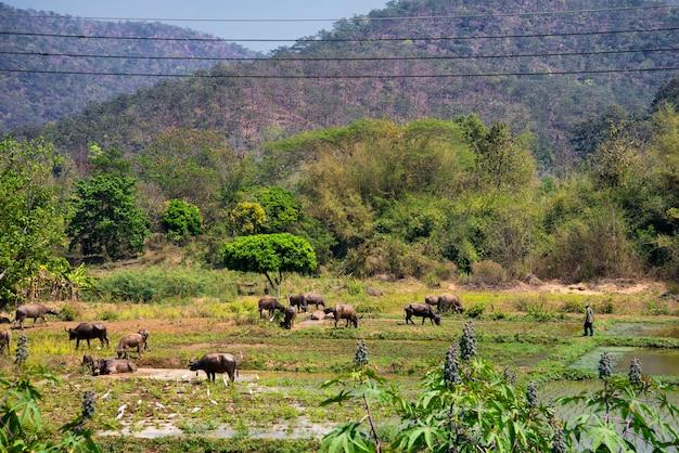 Landwirte bringen büffelschwärme mit, um mit schlammigem wasser abzukühlen