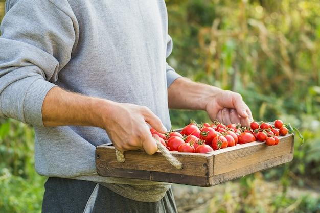 Landwirte, die frische tomaten halten. gesunde bio-lebensmittel
