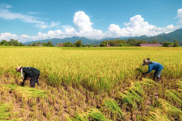 Landwirte ernten reis in der heißen sonne: nan, thailand, 25. oktober 2018
