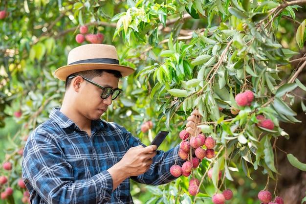 Landwirte fordern kapitalisten auf, litschi zu verkaufen.