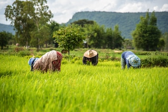 Landwirte pflanzen Reis im Reisfeld