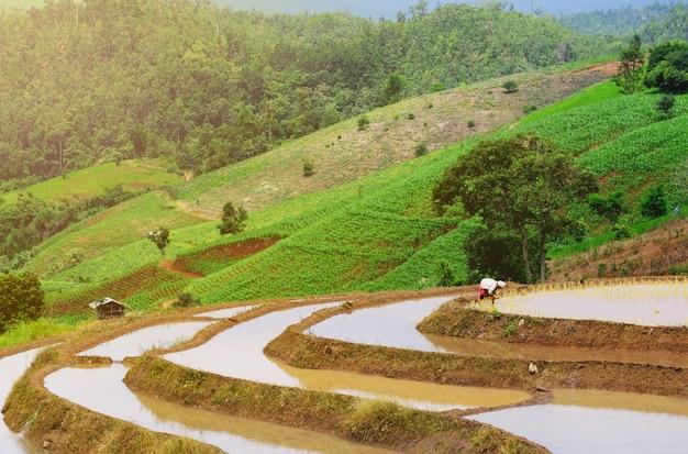 Landwirte pflanzen reis in der farm